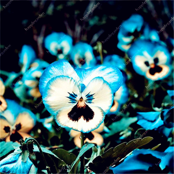 Viola-pansy-bonsai-100-pcs-pansy-rare-plants-Home-Garden-Plant-Indoor-Bonsai-yard-Flower-Free.jpg_640x640 (4)