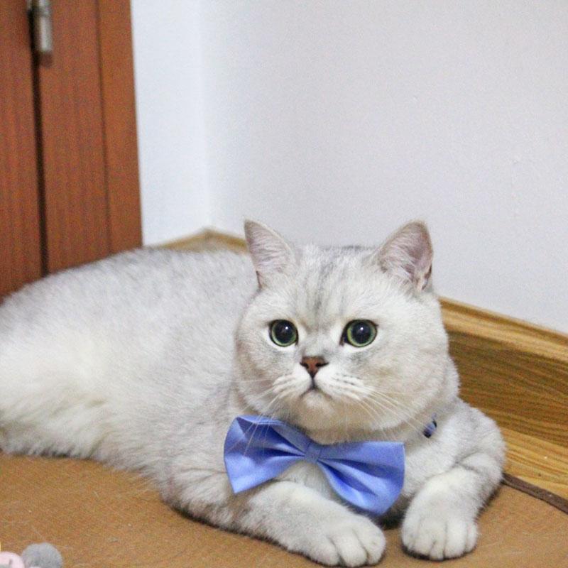 noeud papillon pour chat bleu