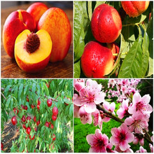 Nectarine Peach seeds Fresh Fruit Seeds - Prunus persica Sweet Honey Tree seeds 5pcs T88(China)