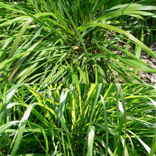 New Fragrant 100pcs Lemongrass Herb Lemon Grass Cymbopogon Flexuosus Seeds Rich Aroma Garden Decoration(China)