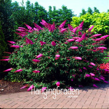 100 Pieces/Bag Lowest Price!Butterfly Bush Summer Lilac Seeds bonsai plant DIY home garden flower seeds