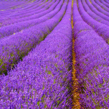 100 French Provence Lavender Seeds Very Fragrant Can Grow Well In Bonsai Organic Lavender Seeds Plant Home Garden Bonsai