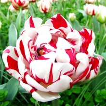 100pcs/bag Bonsai Tulip Seeds Rare Red & White Petals Tulip Flower Seeds Perennial Home Garden Potted Plants