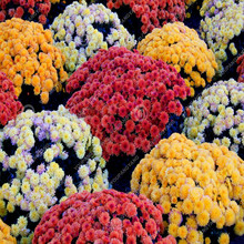 150pcs Aster Seeds Aster Flower Bonsai Flower Seeds Colorful Chrysanthemum Seeds Perennial Flowers Home Garden Plant(China)