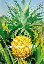 Ananas Comosus - Pineapple 20 Seeds Heirloom Fruit Garden Seeds ,DIY Bonsai Plant Plush Mysterious Gift