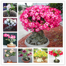 Desert Rose Seeds Potted Flowers Seeds  Adenium Obesum Indoor Bonsai Plant Mini Potted Tree For Home Garden Plant 1 Pcs