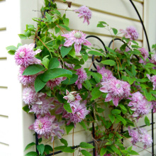Pink Clematis Climbing Flower Seeds Potted Plant Seeds Balcony Clematis Hybridas 300 particles / bag