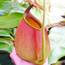 120 pcs Rare Nepenthes Seeds Balcony Bonsai Potted Perennial Plants Seeds Carnivorous Plants Seeds