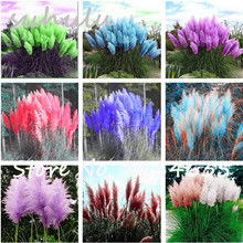 Hot Sale 200Pcs Rare Reed Seeds Flowers Grass Pampas Seeds Ornamental Plants Pampas Grass Seeds Natural Growth for Home Garden(China)