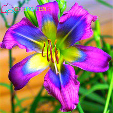 100 Hybrid Mix Black Daylily Flowers Seeds Rare Colour Hemerocallis Seeds New Day Lily Seed Garden Potted Planting Flower Indoor