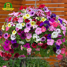Petunia Seeds 300pcs Exotic Flowers Petulantly Balcony Bonsai Beautiful Flowers Excellent for Basket Home Garden Easy to plant