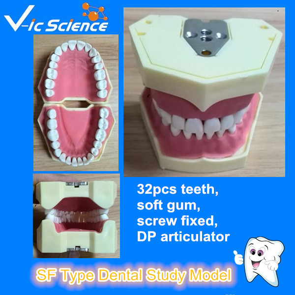 Good quality SF Type Dental Study Model<br>