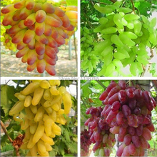 Free shipping, Senior Courtyard Plants , Delicious Fruit seeds , Gold Finger 100pcs Grape Seeds 49%