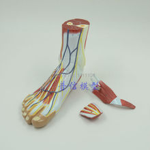 Free ship&the foot anatomy model,1:1 size human foot model, the nervous system, the foot muscle and tendon anatomy model.