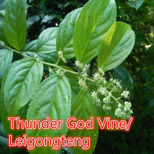 1000g Thunder God Vine 20:1 Extract Powder,Tripterygium wilfordii,Lei Gong Teng,high quality for anti-tumor&immunoregulation(China)