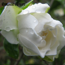 White Rose Seeds , Very Fragrant , Diy Potted Plants Or Garden Flowers , High Germination 100 Particles / Bag(China)