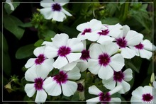 100 Seeds PHLOX TWINKLE STAR,Phlox Drummondii Cuspidata rare flower seeds for home garden planting easy grow nature gift