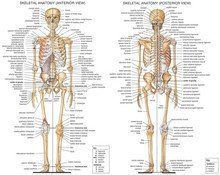 Skeletal System Anatomical Chart Silk Poster Art Bedroom Decoration 0846(China)