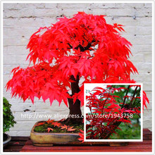 Big sale! 50 Mini RED JAPANESE MAPLE Seeds send 300 strawberry for gift,DIY Bonsai,Acer palmatum atropurpureum,SOW ALL YEAR