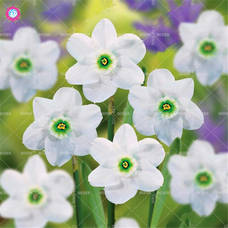 Best-Selling-Beautiful-Narcissus-Flower-Balcony-Plants-Daffodil-Seeds-Absorption-Radiation-Narcissus-Tazetta-Seeds-100-PCS.jpg_640x640 (2)_