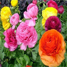 20seeds/bag 20colors for Chose Ranunculus Flower Seeds Persian Buttercup Seed POT FLOWER PLANT GARDEN BONSAI DIY HOME PLANT