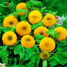 Teddy Bear Sunflower Seed  Dwarf stem double sunflower Indoor bonsai Flower Seeds for Home garden ornamental plants 20seeds/bag