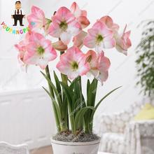 Best Selling 50 Pcs White Amaryllis Seeds Hippeastrum Seeds Cheap Perennial Barbados Lily Seeds (not Bulbs) Roof Terrace(China)