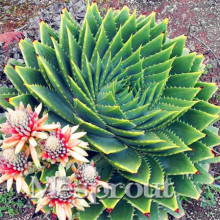 Rare Spiral New Seeds Succulents Seed, MESA Aloe polyphylla rotation aloe vera queen seeds, 100pcs/bag