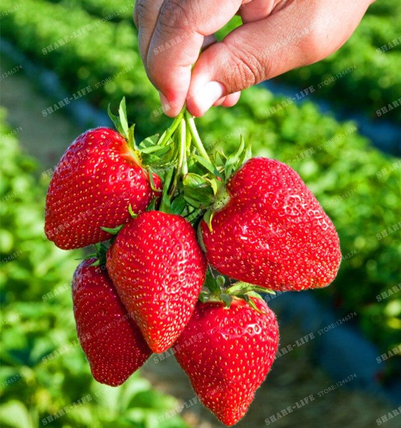 Berry  Wikipedia