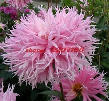 Tassel Type Romantic Pink Dahlia Garden and Patio Potted Ornamental Plants Flower Seeds 50seeds * bonsai home Organic(China)