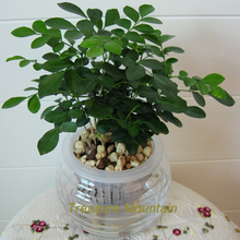 1 Professional Pack, 200 Seeds / Pack, Rare Orange Jasmine Mock Orange Murraya Paniculata Bonsai Seeds #NF198(China)