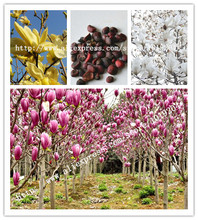 10PC Colorful magnolia seeds (red. white. yellow. Orange. Purple) Aroma pressing plant