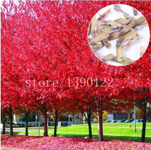 20pcs red maple seeds,maple tree seeds tree seeds bonsai flower seeds  100% germination  potted plant for home garden