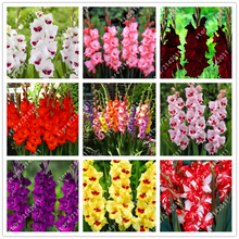 100pcs/bag gladiolus seed,(not gladiolus bulbs),gladiolus flower seeds,97% budding rare sword lily seeds Aerobic potted plants(China)