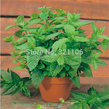 200 Spearmint shortest mint vanilla seeds flower tea leaves can be cooked herb seeds Free Shipping