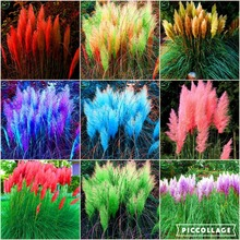 Rare Reed seeds Flowers grass pampas c. Seeds are very beautiful decorative garden plants pampas grass seeds 200 pcs t47