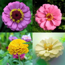 100 Mixed Colors California Giant Zinnia Elegans Flower Seeds,Easy cultivation. so beautiful