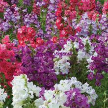 100pcs/original packing Snapdragon, Dragon's month seed mixed colors bonsai plant DIY home garden free shipping A069(China)