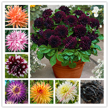 20 pcs True dahlia flower dahlia seeds (not dahlia bulbs),Symbolizes courage and lucky,perennial bonsai flower seeds home garden