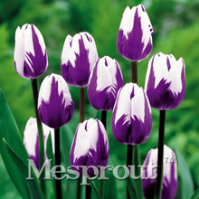 Big Sale, Wholesale 10pcsTulip seeds Flowers Wedding Home Decorative Flowers Home Decoration Tulip Flower,Indoor Potted Plants