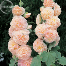Rare Beautiful Althaea Rosea Pink Hollyhock Compact Flowers, 20 Seeds, fragrant dazzling flowers light up garden E3714