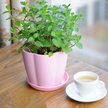 400 Lemon Mint Seeds potted flowers and plants seeds seasons seeds edible flowers