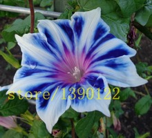 100 PETUNIA seeds rare blue white edge Morning Glory flower seeds for home garden planting planting petunia seeds(China)