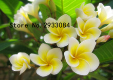 20PCS/BAG Plumeria ( Frangipani, Hawaiian Lei Flower ) Seeds, Rare Exotic Flower Seeds Egg Flower Seeds