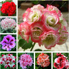 100 Pcs/bag Geranium Seed Potted Flower Seeds Perennial Flower Seeds Pelargonium Peltatum Seeds Indoor Rooms Plant Pot Bonsai
