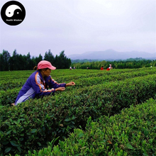 Buy Real Green Tea Tree Seeds 60pcs Plant Chinese Biluochun Tree Grow Dragon Well Tea Garden(China)