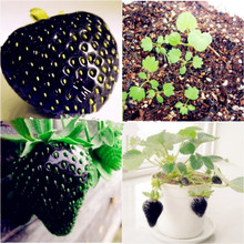 500 Seeds Black Strawberry Seeds Good Taste Fruits Healthy Fresh Exotic Seeds Easy Care Bonsai Plants For Home Garden