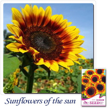 Buy 2 Get 1!(Can accumulate ) 1 Pack 20 Seed Japan Sunflower Helianthus Annuus Flower HOT A141(China)