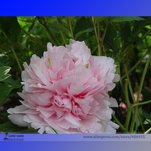 Heirloom 'Wan Shi Sheng Se' Pink Multi-petalled Peony Tree Perennial Flower Seeds, Professional Pack, 5 Seeds / Pack E3183