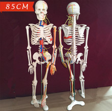 "Human skeleton anatomical model Nerves Blood Vessels 34"" 85cm Spinal Nerves brain vein viewer in trauma anatomia Exploded skull(China)"